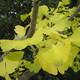 イチョウの黄葉日